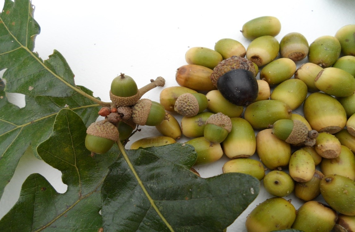Oak tree acorns are healthy, delicious and free